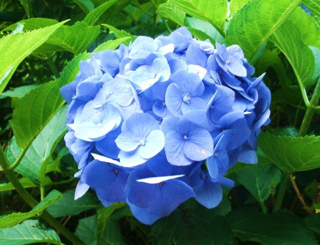 「紫陽花 画像」の画像検索結果
