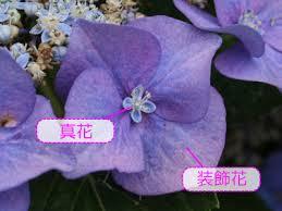 紫陽花 装飾花