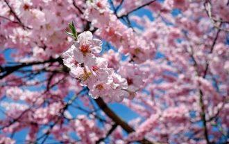 休眠打破 桜