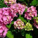 紫陽花毒葉カタツムリ