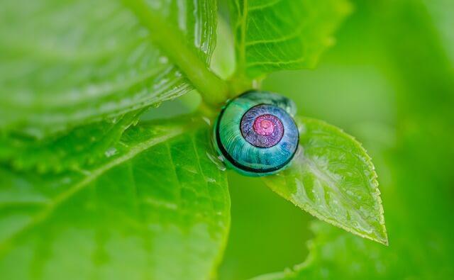 紫陽花 葉 カタツムリ
